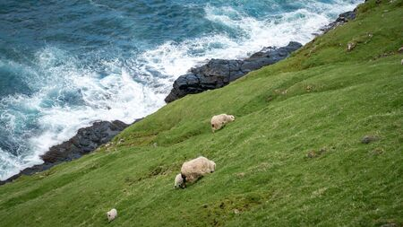 Wildlife in the Faroe Islands. Sheep on a steep cliff on Vagar island, Faroe Islands, Denmark, Europe