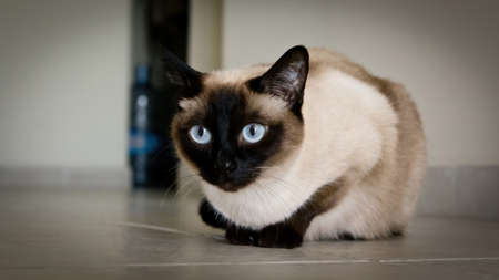 Portrait of a Siamese cat with huge blue eyes