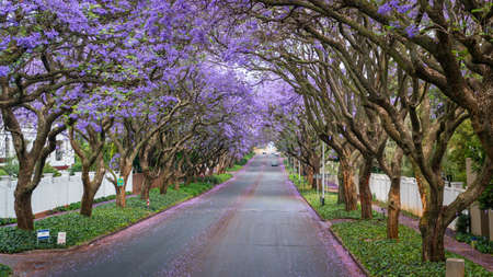 Tall Jacaranda trees lining the street of a Johannesburg suburb in the afternoon sunlight, South Africa Zdjęcie Seryjne