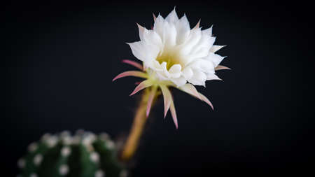 Beautiful cactus flower isolated on black background with field of depth. Copy space Zdjęcie Seryjne