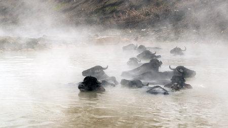 Guroymak, Bitlis, Turkey - Animals in thermal water with steam, animal shower