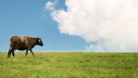 Cow on green grass meadow with a cloudy sky. Copyspace photo Zdjęcie Seryjne