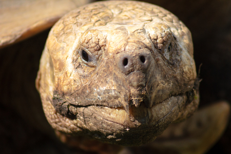 A portrait of an old turtle peering out of a shell. Czech Republic