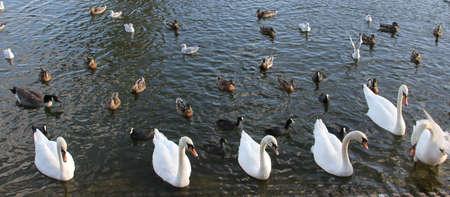 Swans1 photo