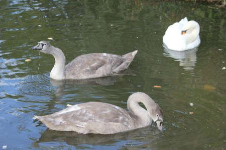 signet: Sello Swans5  Foto de archivo