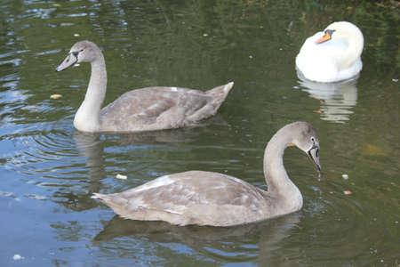 signet: Sello Swans6  Foto de archivo