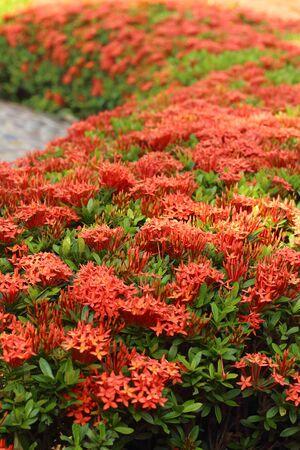 geranium color: Ixora flowers in the garden