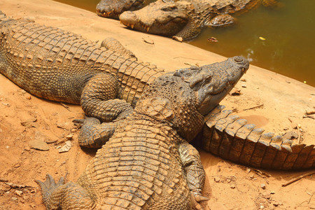 alligator eyes: Crocodile in the nature at the forest Stock Photo