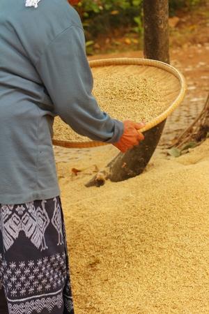 empleadas domesticas: trabajador agr�cola es el arroz pel�culas en la bandeja.