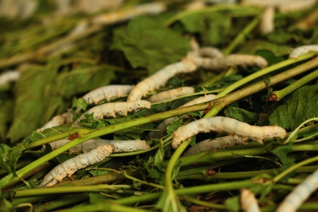metamorphose: Fresh white maggots in the tray at the garden