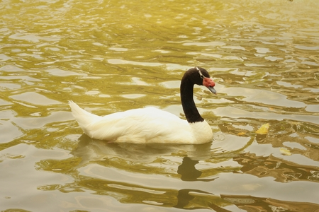 dabbling: A white swan swimming in the pond.