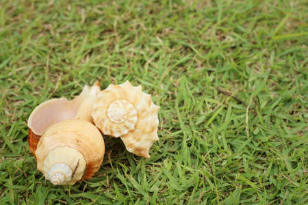 conch shell: conch shell on a background of green grass.