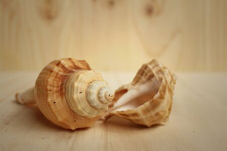 conch shell: conch shell on a background of wooden.