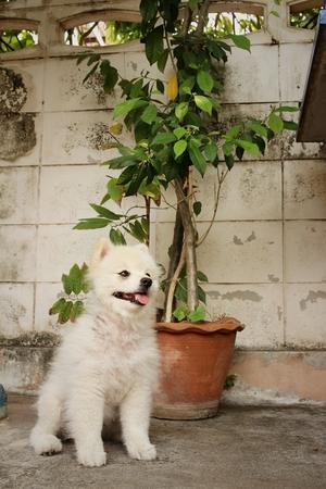 pomeranian: White pomeranian dog. Stock Photo