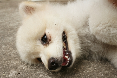 White pomeranian dog. Stock Photo
