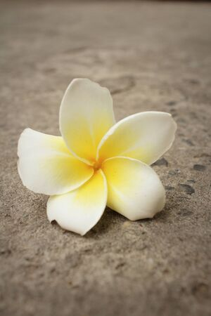 Plumeria flower on a background of cement. Stock Photo