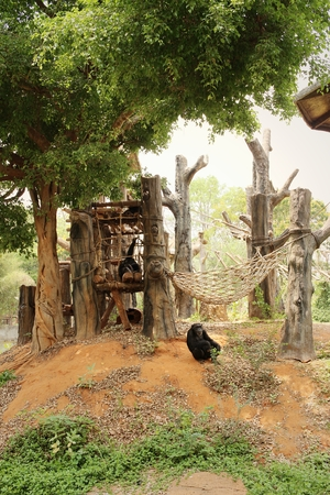 simia troglodytes: Monkeys in a nature at the zoo. Stock Photo