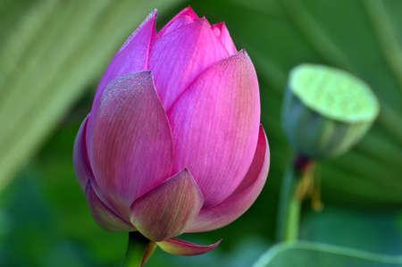 Lotus flower bud