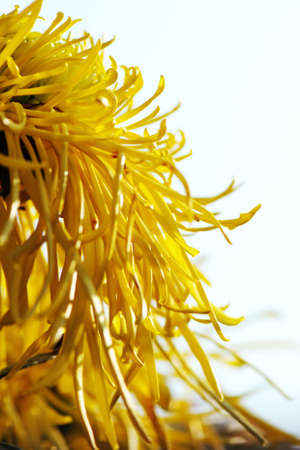 filamentous: close up of Chrysanthemum