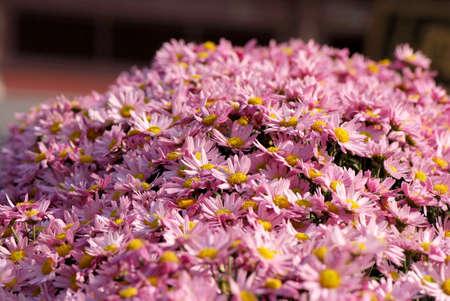 filamentous: close up of Chrysanthemum
