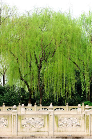 willow: Willow tree in the park