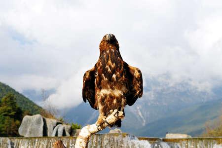 aigle royal: aigle royal