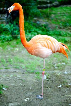 ciconiiformes: Flamingo Stock Photo
