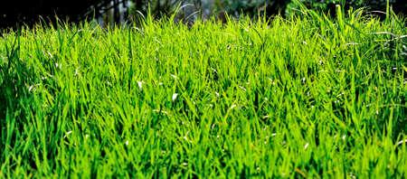 backlit: Backlit grass