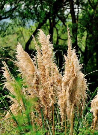 pampas: Dwarf pampas grass