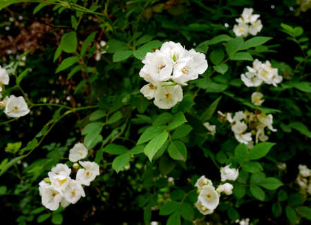 philadelphus: Philadelphus pekinensis Stock Photo