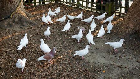 bevy: Ornamental pigeons