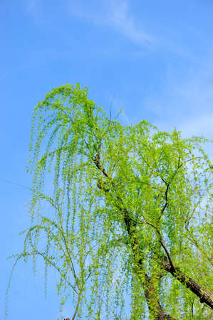 willow: Willow leaves