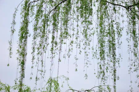 willow: Willow branch