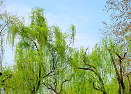 willow: Willow tree