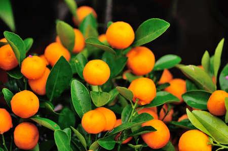 fruitage: Kumquat Stock Photo