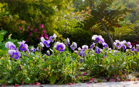 tricolor: Viola tricolor