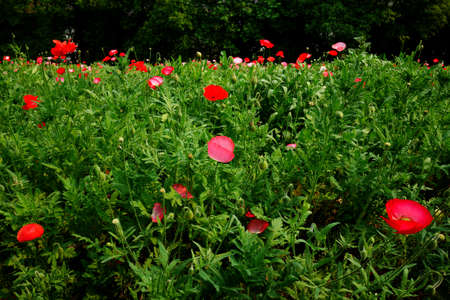 corn flower: Corn poppy flower