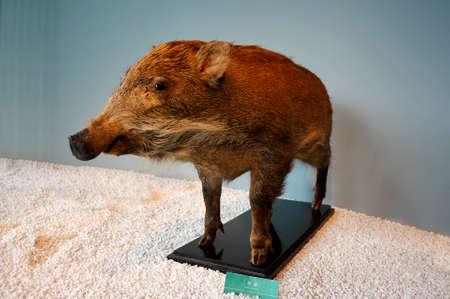 popular science: Wild boar specimens Editorial