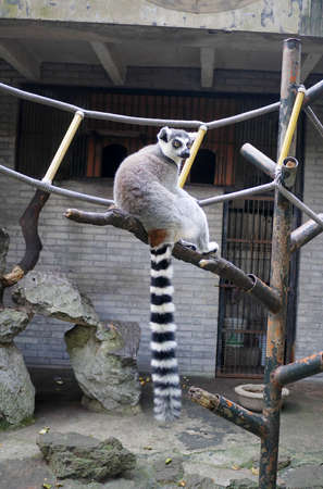 tailed: Ring tailed lemur
