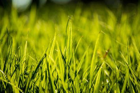 backlighting: Backlighting of grass Stock Photo