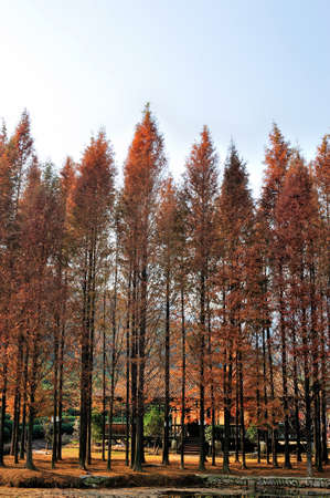 sapin: Automne for�t de sapins