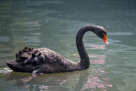 black: Black Swan