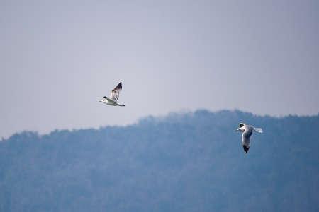 Flying Vega gull