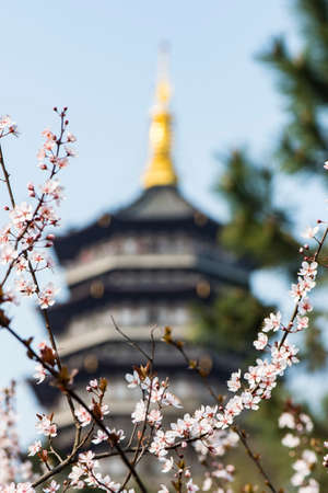 purple leaf plum: The purple leaf plum with pagoda as background Stock Photo