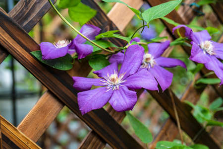 Clematis florida Thunb Banque d'images