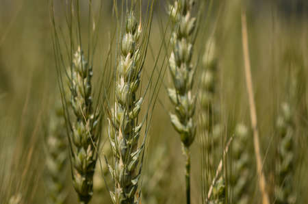 barley head: Wheat field