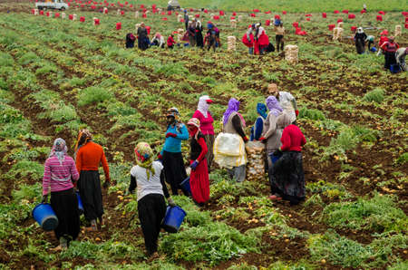 Kurdish women are harvesting potatoes in the field as a seasonal worker in agricultural production sector in Cukurova