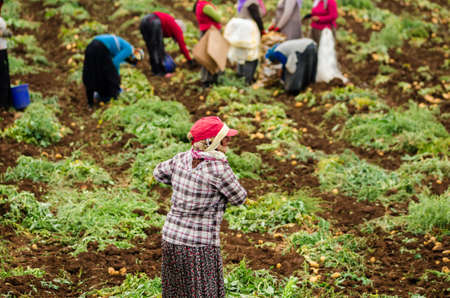 seasonal worker: Kurdish women are harvesting potatoes in the field as a seasonal worker in agricultural production sector in Cukurova