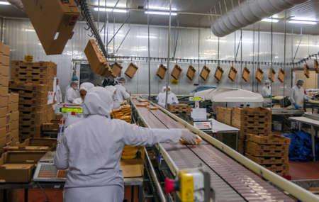 alimentos y bebidas: trabajadores mujer musulmanes que trabajan en una planta de carne de pollo. Editorial