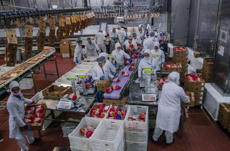 aves de corral: trabajadores mujer musulmanes que trabajan en una planta de carne de pollo. Editorial